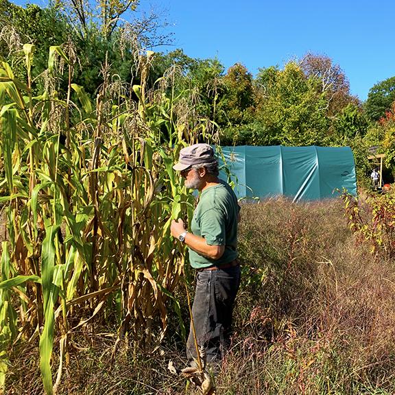 Haynes growing corn at Stowe Farm Community